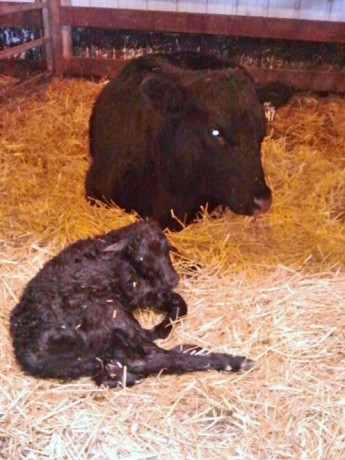 Champion takes a rest while she waits for her calf to take her first steps.